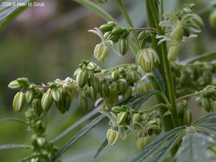cannabis sativa hemp minnesota wildflowers