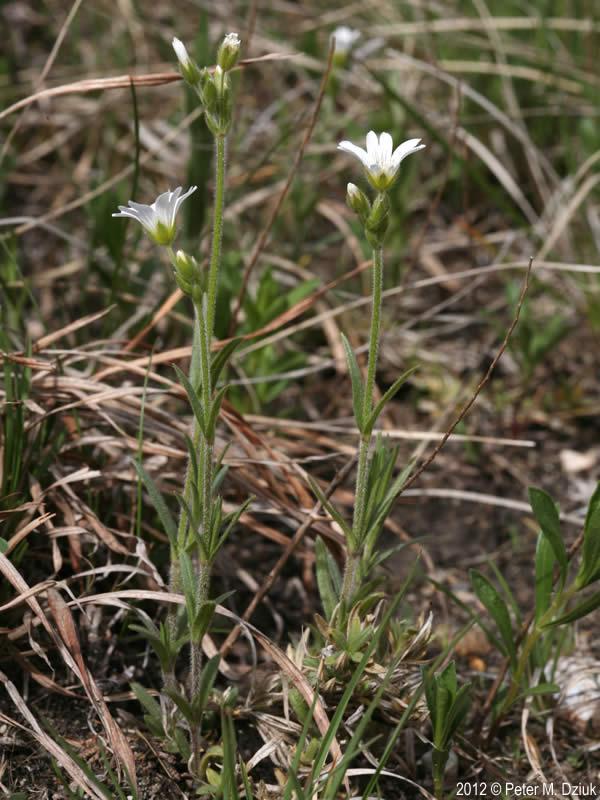 Cerastium Arvense Field Chickweed Minnesota Wildflowers