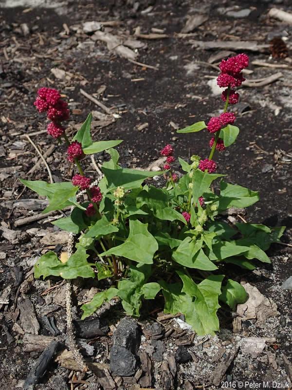 Chenopodium Capitatum Strawberry Blite Minnesota