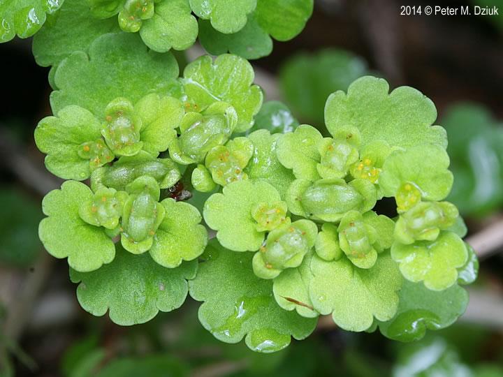 Chrysosplenium iowense (Iowa Golden Saxifrage): Minnesota ...