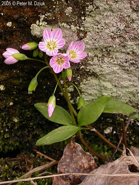 Claytonia Caroliniana Carolina Spring Beauty Minnesota