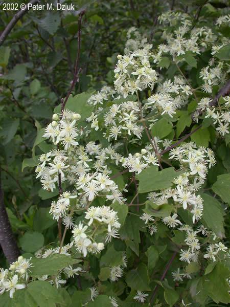 clematis virginiana virgins bower minnesota wildflowers