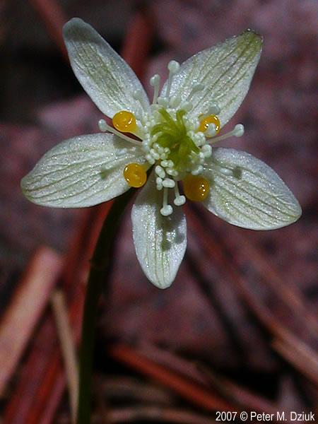 Coptis Trifolia  Three