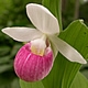[photo of Showy Lady's-slipper]