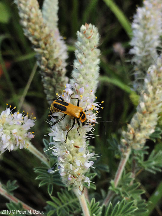 Dalea villosa (Silky Prairie Clover): Minnesota Wildflowers