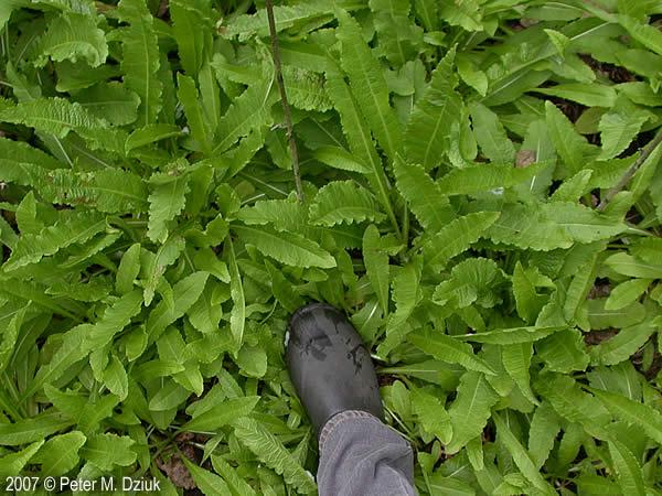 Dipsacus Laciniatus Cut Leaf Teasel Minnesota Wildflowers