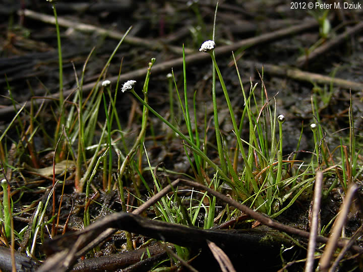 eriocaulon aquaticum  common pipewort   minnesota wildflowers