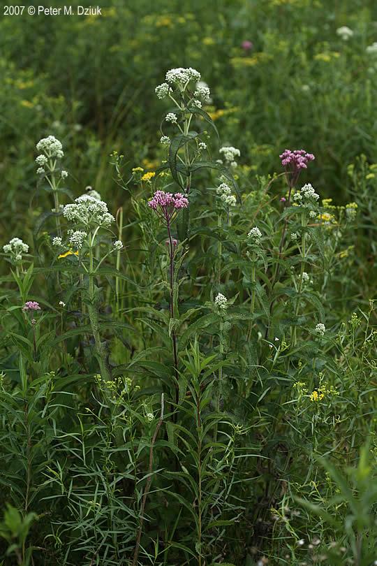 Goldenrod Plant Seed Eupatorium perfoliatum...