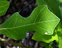 [photo of violin-shaped leaves]
