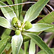 [photo of Toothed Spurge]