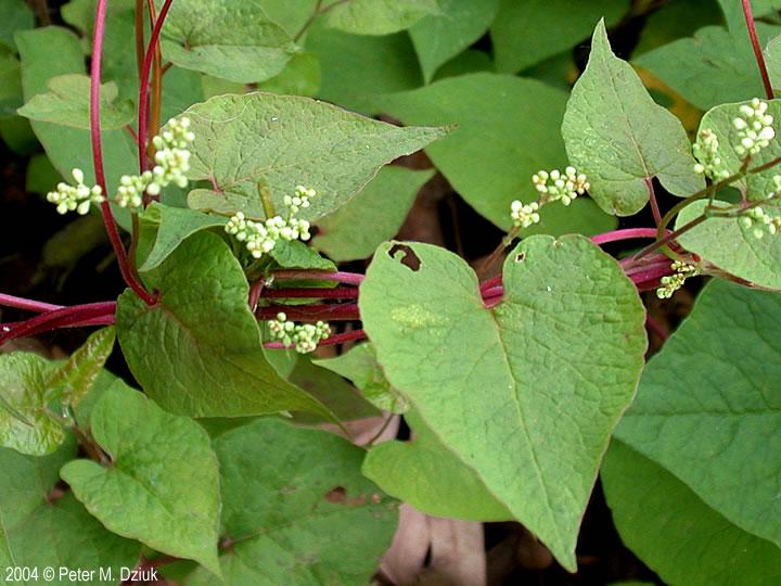 Fallopia cilinodis fringed black bindweed minnesota wildflowers leaves mightylinksfo