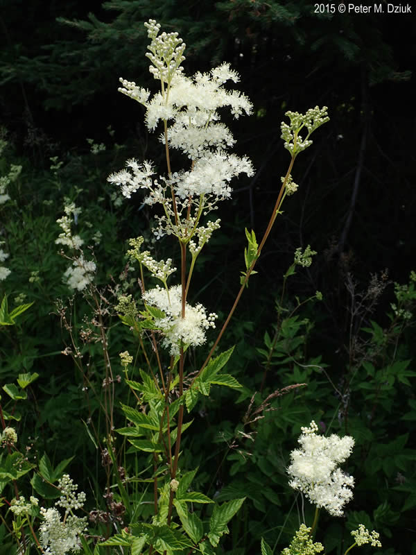 Filipendula Ulmaria Queen Of The Meadow Minnesota