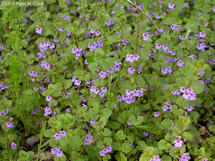 Glechoma Hederacea Ground Ivy Minnesota Wildflowers