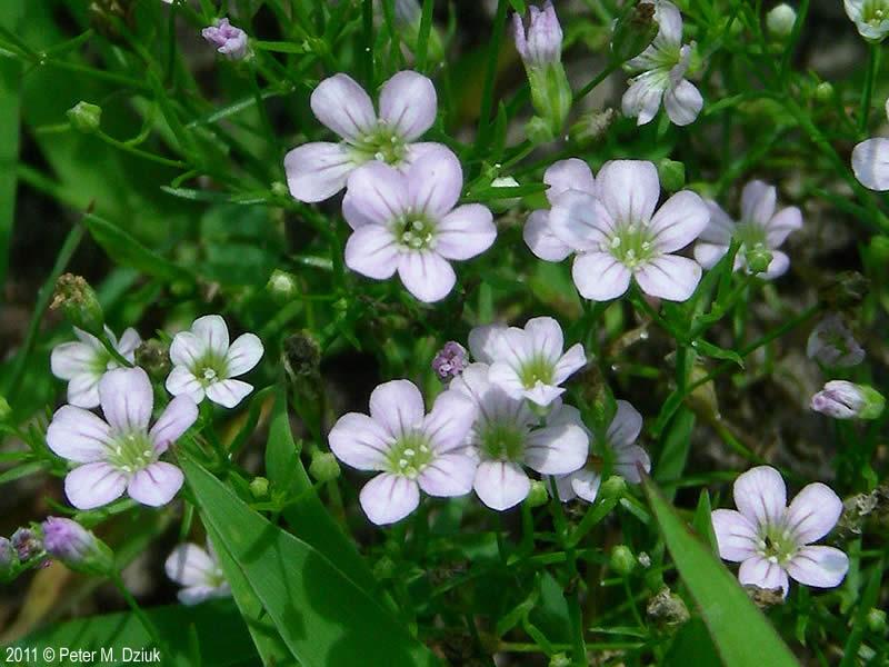 Gypsophila Muralis Low Baby S Breath Minnesota Wildflowers