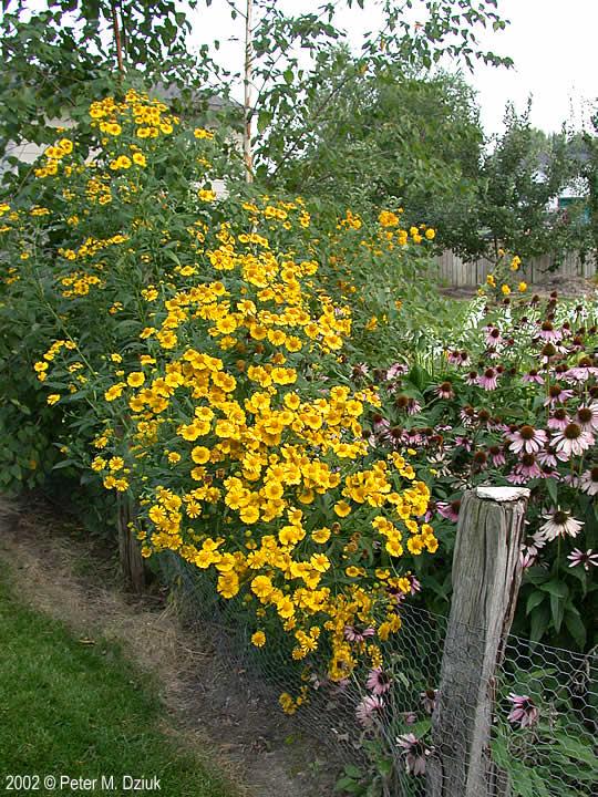 Yard And Garden >> Helenium autumnale (Sneezeweed): Minnesota Wildflowers