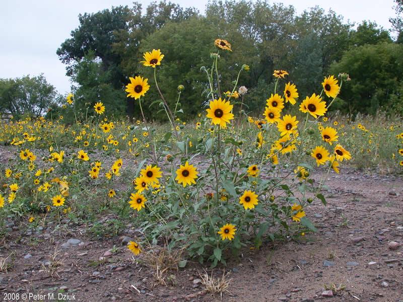 Helianthus petiolaris (Prairie Sunflower): Minnesota ...