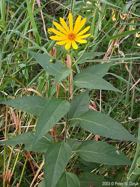 Helianthus Tuberosus  Jerusalem Artichoke   Minnesota Wildflowers