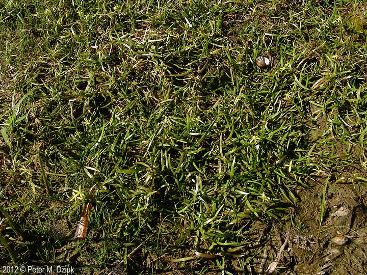 Heteranthera Dubia Water Star Grass Minnesota Wildflowers