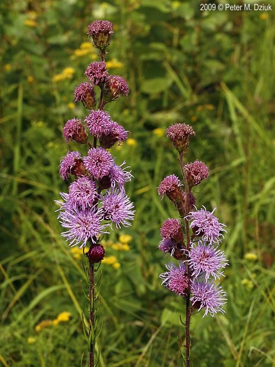 liatris ligulistylis northern plains blazing star minnesota wildflowers