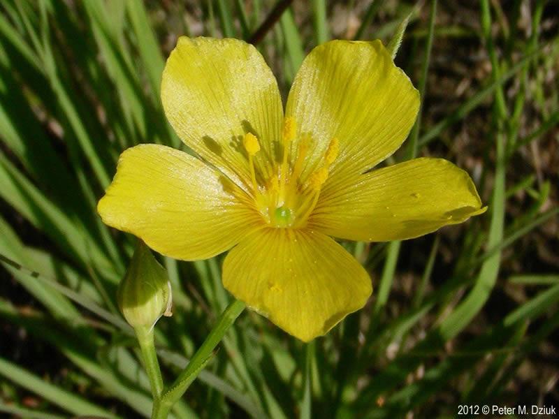 Linum rigidum stiffstem flax minnesota wildflowers photo of flower mightylinksfo