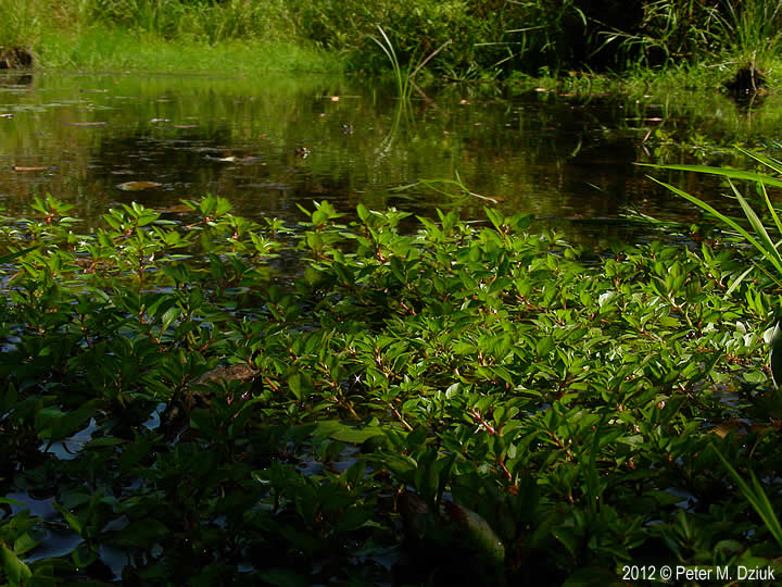 Ludwigia Palustris Water Purslane Minnesota Wildflowers