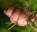 [photo of tuber]