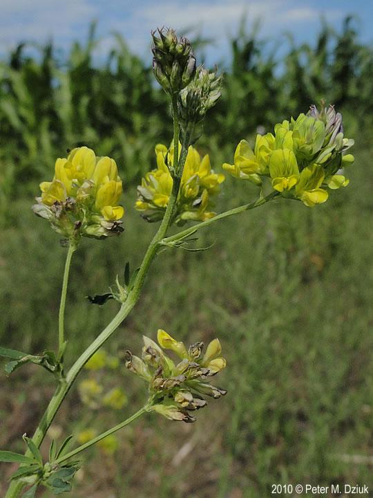 Medicago sativa (Alfalfa): Minnesota Wildflowers
