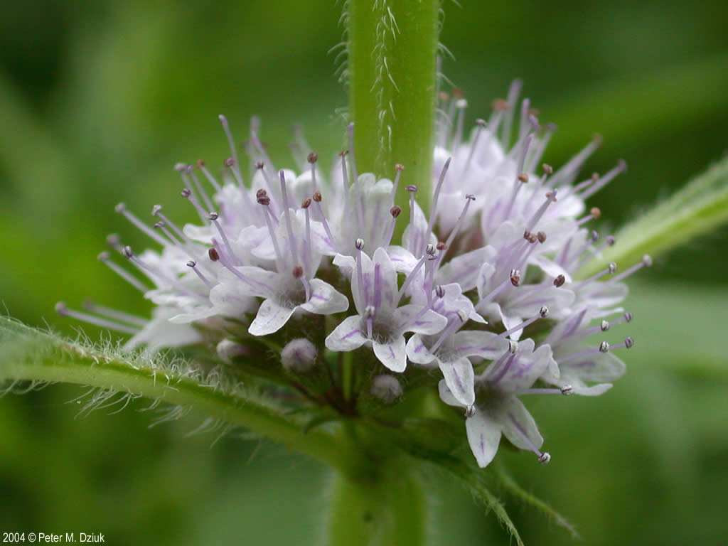 Mentha Arvensis Seeds Mentha Arvensis Wild Mint