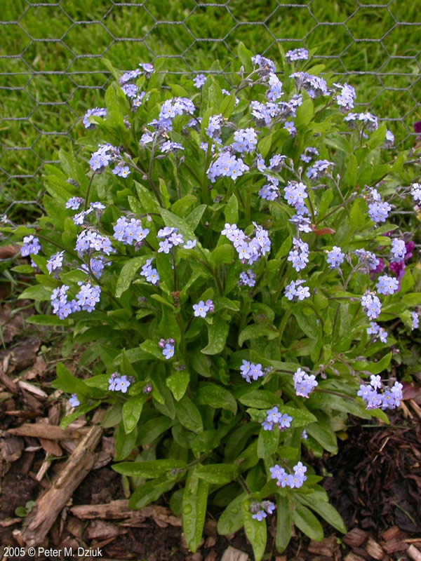 Myosotis sylvatica wood forget me not minnesota wildflowers for Perennial wood