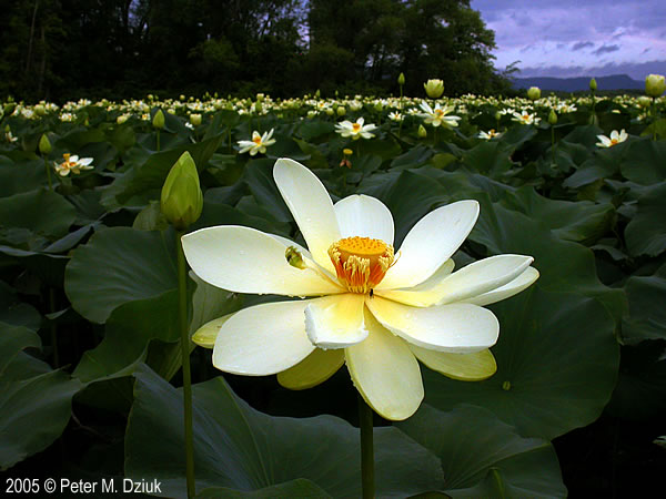 Nelumbo lutea american lotus minnesota wildflowers photo of flower mightylinksfo