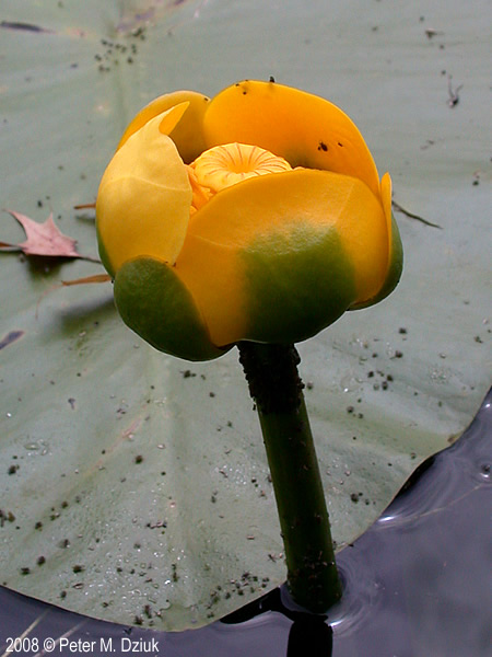 Nuphar variegata yellow pond lily minnesota wildflowers photo of flower mightylinksfo
