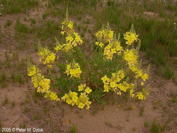 Oenothera Rhombipetala Fourpoint Evening Primrose