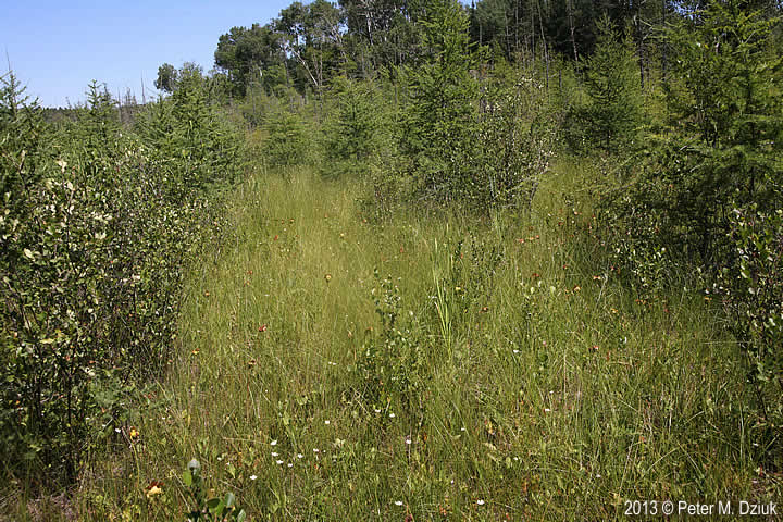 Parnassia palustris (Marsh Grass of Parnassus): Minnesota ...