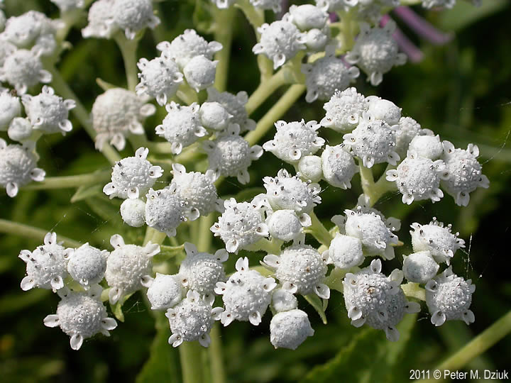 Wild Quinine on Life Cycle Of A Flower