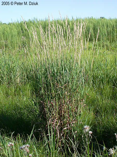Phalaris Arundinacea Reed Canary Grass Minnesota
