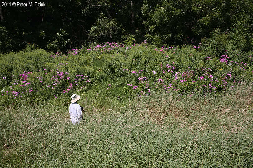 Phlox Paniculata Garden Phlox Minnesota Wildflowers