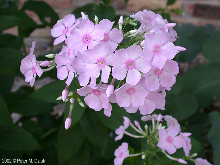 Phlox paniculata garden phlox minnesota wildflowers photo of flowers pale pink mightylinksfo