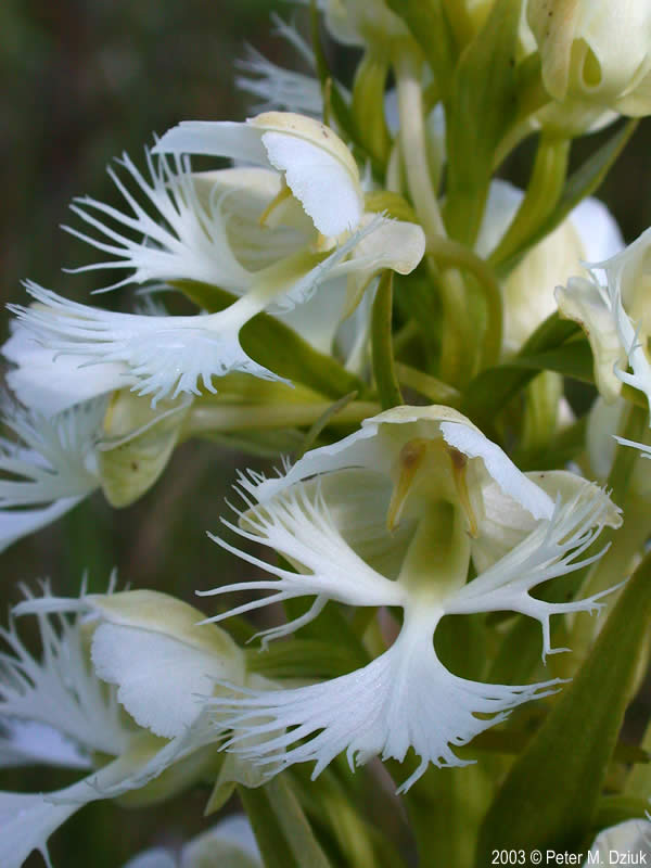 Platanthera Praeclara (Western Prairie Fringed Orchid