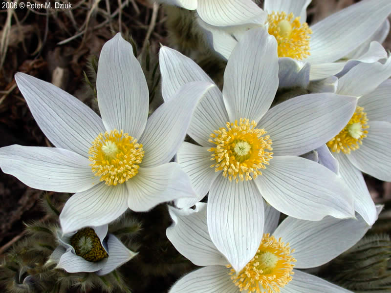 Anemone patens american pasqueflower minnesota wildflowers photo of flowers mightylinksfo