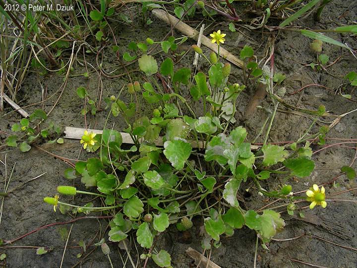 Ranunculus Cymbalaria Alkali Buttercup Minnesota