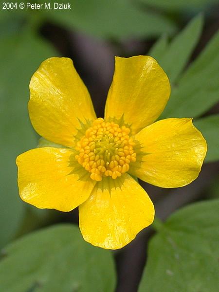 ranunculus hispidus hispid buttercup minnesota wildflowers