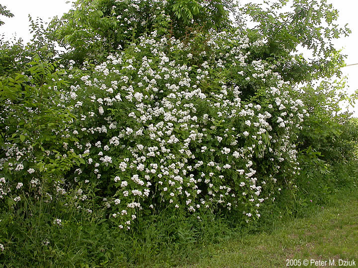 Rosa Multiflora Multiflora Rose Minnesota Wildflowers