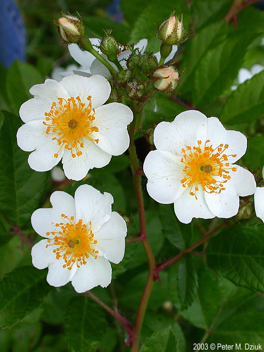 Rosa multiflora multiflora rose minnesota wildflowers photo of flowers mightylinksfo