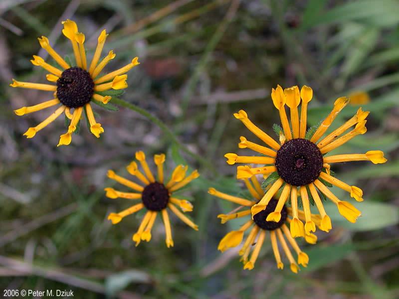 Naturally Black Flower