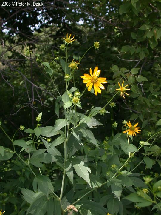 Rudbeckia laciniata (Cut-leaf Coneflower): Minnesota