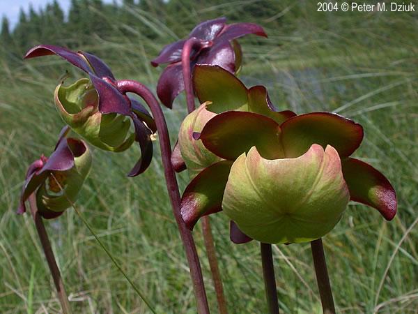 Sarracenia Purpurea  Purple Pitcher Plant   Minnesota Wildflowers