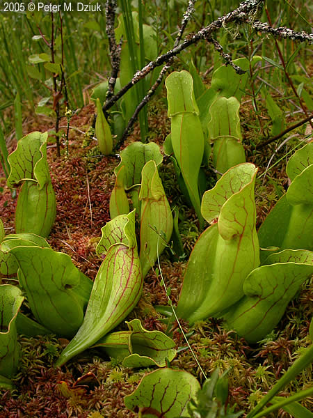 Sarracenia Purpurea Purple Pitcher Plant Minnesota