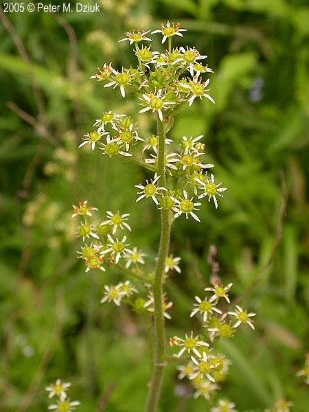 Micranthes Pensylvanica Swamp Saxifrage Minnesota