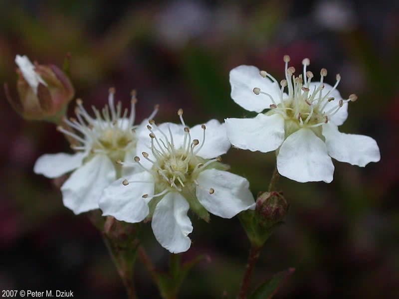 Sibbaldiopsis tridentata three toothed cinquefoil minnesota flower mightylinksfo