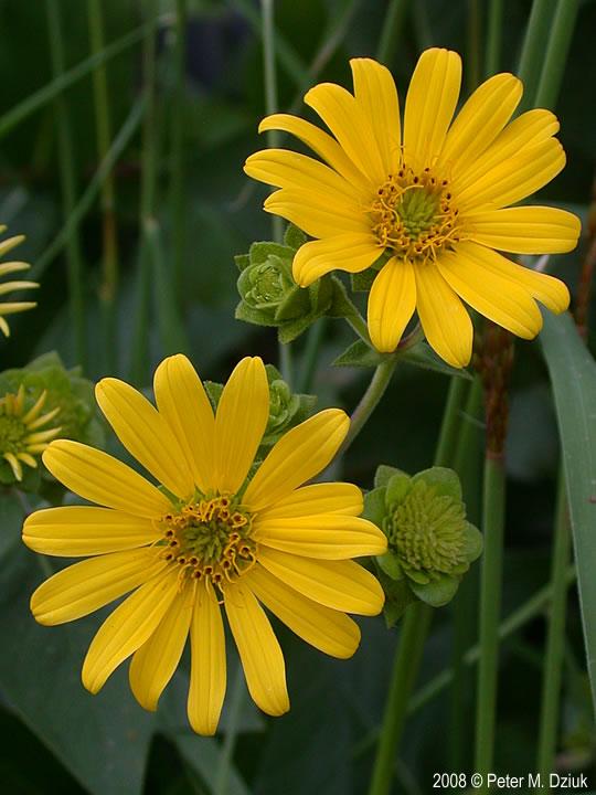 Silphium Integrifolium (Rosinweed): Minnesota Wildflowers